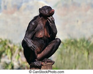 Female Bonobo - A female bonobo scratches her chin while...