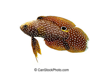Marine Beta Fish Calloplesiops altivelis isolated on white...