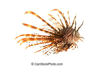 Volitan Lionfish Pterois volitans isolated on white...