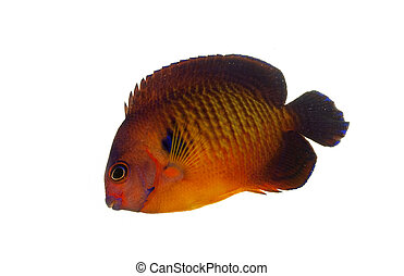 Coral Beauty Angelfish (Centropyge bispinosus) isolated on...