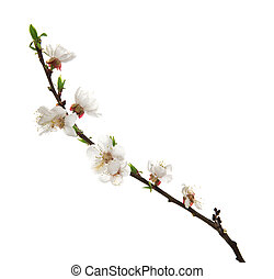 Beautiful apricot blossom isolated on white background