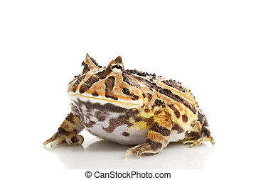 Fantasy Frog (Ceratophrys) isolated on white background.