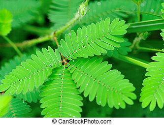 sensitive plant