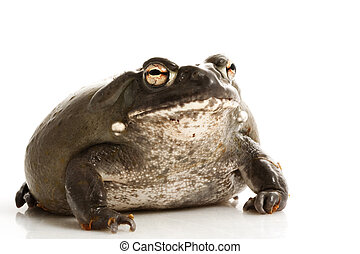 Colorado Bullfrog (Rana catesbeiana) isolated on white...