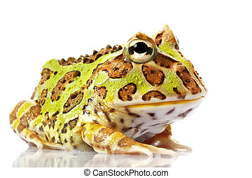 Horned Frog (Ceratophrys) isolated on white background.
