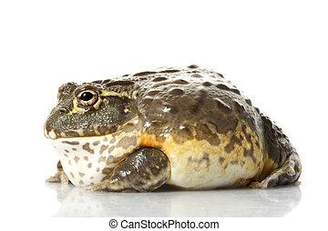 afrikanisch, Bullfrog/Pixie, Frosch