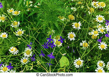 Camomiles And Blue Cornflower Among The Grass