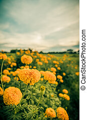 Marigolds or Tagetes erecta flower vintage - Marigolds or...