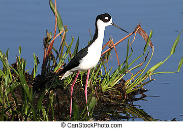 Black-necked Stilt (Himantopus mexicanus) in blue water