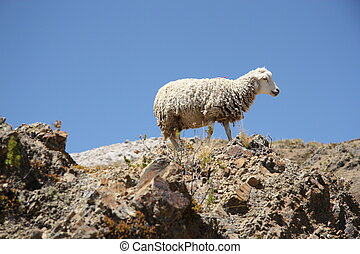 Lonely Sheep on the mountain - Sheep on the top of the...