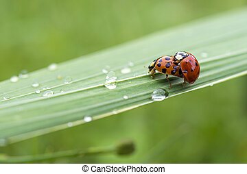 Love-making ladybugs couple - Everybody needs somebody to...