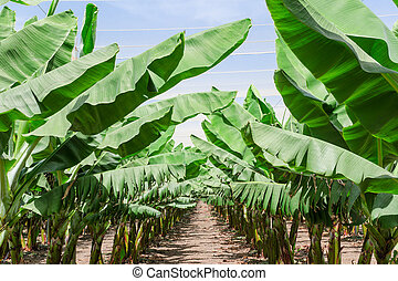 Lush leafage of banana palm trees in orchard plantation rows...