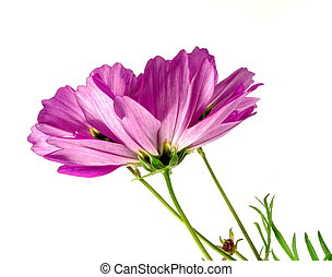 cosmea - pink cosmea in lateral view