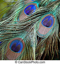 male Green Peafowl feathers - Beautiful plumage of male...