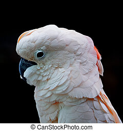 Moluccan - Beautiful pale pink Cockatoo, Moluccan or Seram...