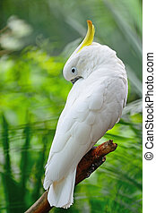 Sulphur-crested Cockatoo - Beautiful white Cockatoo,...