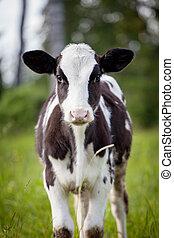 Newborn calf on green grass - Beauty small Newborn calf on...