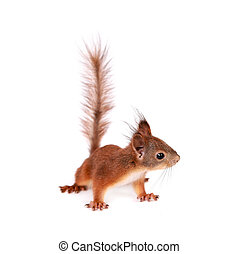 Eurasian red Squirrel, Sciurus Vulgaris on white - Eurasian...