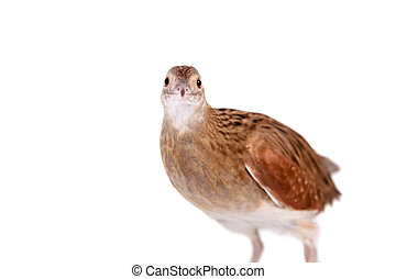 Corncrake or Landrail, Crex crex, on white - Corncrake or...