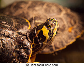 Red-eared slider turtle - Detailed view of Red-eared slider...