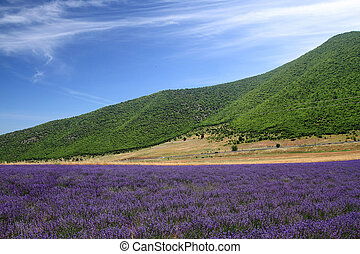 Lavender fields with distant mountains and blue sky