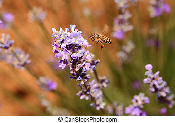 Honey bee with blooming lavender flowers closeup