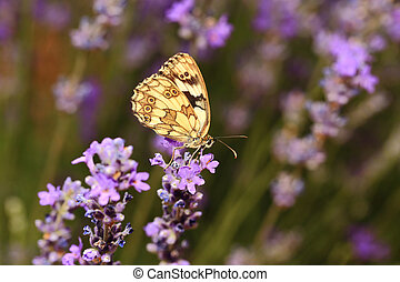 Butterfly on blooming lavender flowers closeup