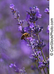 Honey bee on blooming lavender flowers closeup