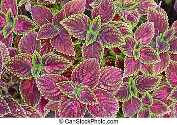 group of green and violet color coleus - close-up of green...