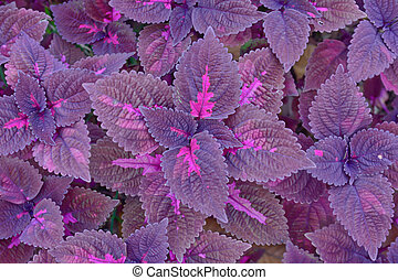 group of violet coleus - close-up of violet color coleus in...