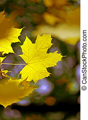 Maple fall leaf Shallow focus