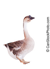 Brown domestic goose on white - Brown domestic goose...