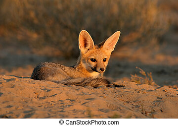 Cape fox (Vulpes chama) resting in front of burrow, Kalahari...