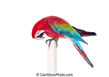 Red-and-green Macaw on white background - Red-and-green...
