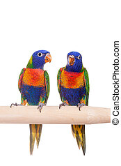 Rainbow Lorikeet isolated on white - Rainbow Lorikeet -...