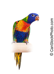 Rainbow Lorikeet on white background - Rainbow Lorikeet -...
