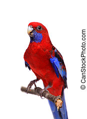 Crimson Rosella on white - Crimson Rosella, Platycercus...