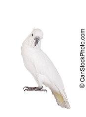 enxôfre-sulphur-crested, cockatoo, branca