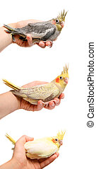 Set of handy cockatiel parakeet babies on white - Set of...