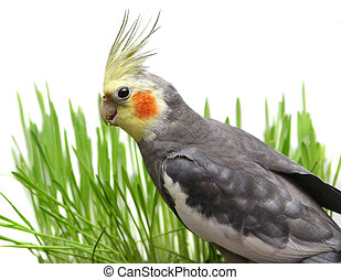 Grey Cockatiel Isolated with green grass - Grey Curious...