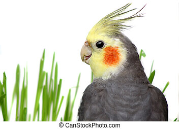 Grey Cockatiel Isolated with green grass