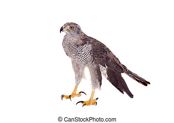 Northern goshawk on white - Northern goshawk - Accipiter...