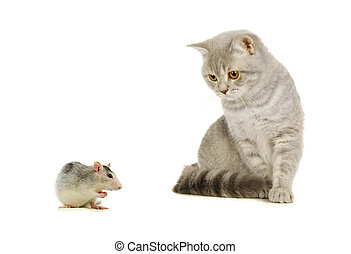 Gray scottish cat and mouse on the white - Gray scottish cat...