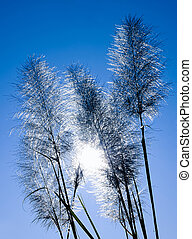 Feather Grass with Halo Sun Background - The Feather Grass...