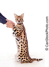 Beautiful serval, Leptailurus serval, isolated on the white...