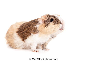 Guinea pig on a white - Guinea pig baby isolated on white...