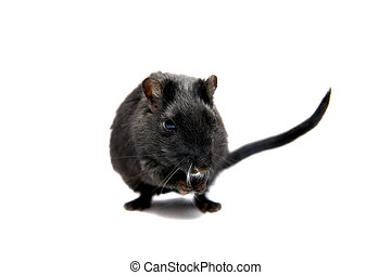 Black gerbil on white - Black gerbil, isolated on the white...