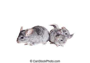 Chinchilla with babies on white - Chinchilla with babies...