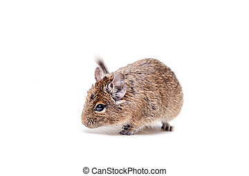 The Degu or Brush-Tailed Rat, on white - The Degu, Octodon...