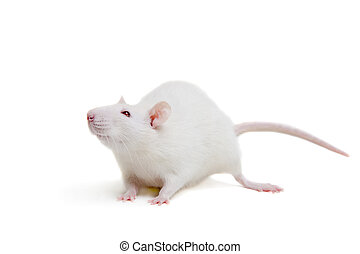 White laboratory rat on white - White laboratory rat...